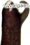 Sphaerococcus confervoides (Hudson) C.Agardh