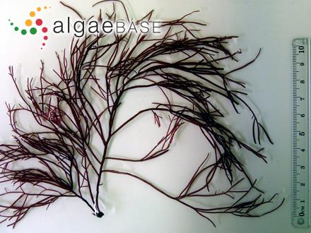 Caulerpa annulata A.H.S.Lucas
