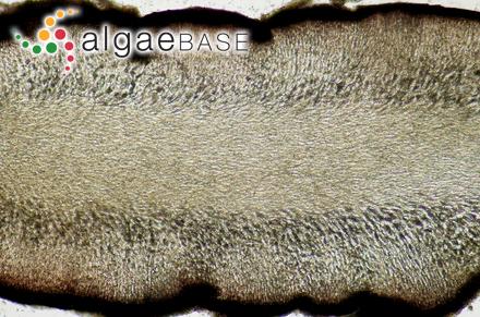 Colaconema phacelorhizum (Børgesen) Woelkerling
