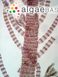 Polysiphonia filamentosa (Wulfen) Sprengel