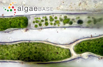 Audouinella liagorae (Børgesen) Woelkerling