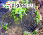 Polysiphonia pennata (C.Agardh) J.Agardh