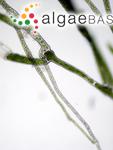 Chloronitum aegagropila (Linnaeus) Gaillon