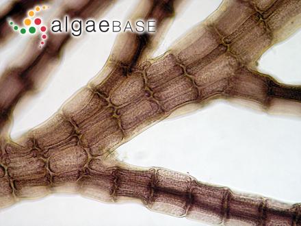Helminthora tumens J.Agardh