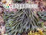 Acanthocodium fragile Suringar