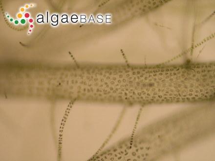 Cladostephus spongiosum f. laxum (C.Agardh) Areschoug