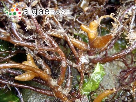 Ectocarpus lutescens Zanardini