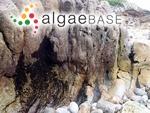 Ahnfeltiopsis pusilla (Montagne) P.C.Silva & DeCew