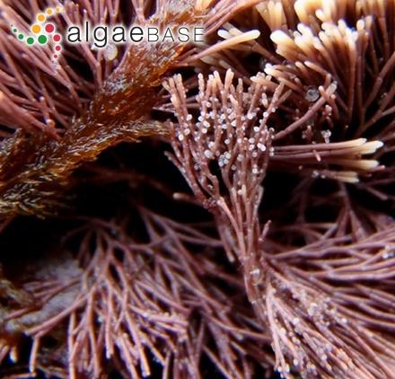Cladophora oligoclona (Kützing) Kützing