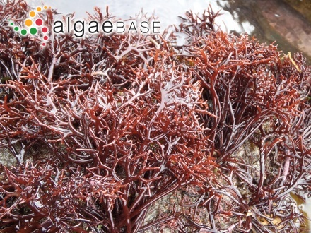 Tiresias natalensis (Hering) Areschoug