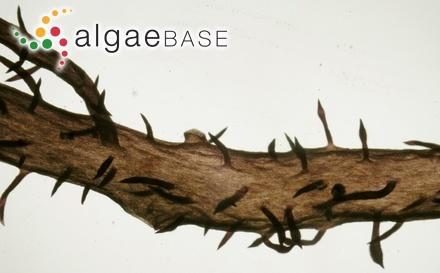Cladophora ceylanica Durairatnam