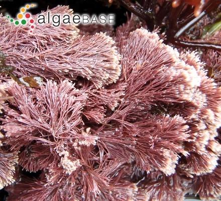 Cladophora colabensis Børgesen