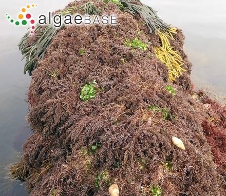Lychaete flagelliformis (Suhr) Areschoug