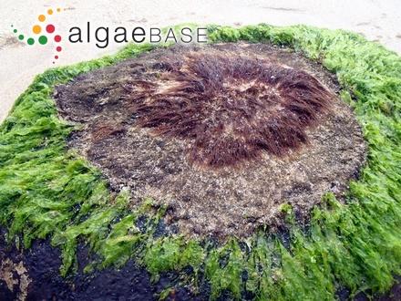 Cystoseira abrotanifolia f. fimbriata Sauvageau