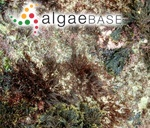 Polysiphonia opaca var. tripinnata (J.Agardh) Ardissone