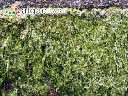 Rhizoclonium arboreum Zeller