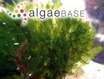 Bryopsis plumosa (Hudson) C.Agardh