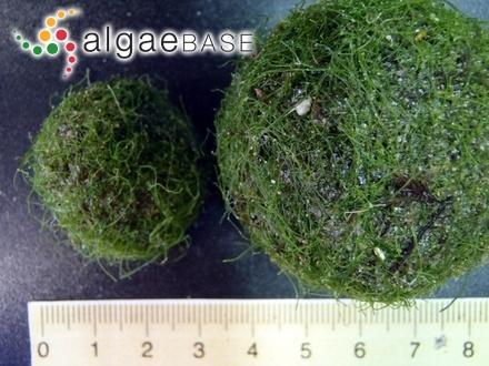 Agmenellum quadruplicatum (Meneghini) Brébisson