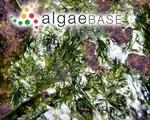 Gayralia oxysperma (Kützing) K.L.Vinogradova ex Scagel <i>et al.</i>