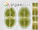 Euastrum ovale (Ralfs ex Ralfs) Nägeli