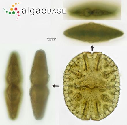 Delesseria beringiana var. spinulosa Ruprecht