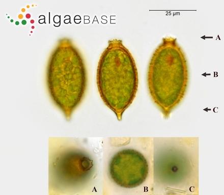 Aphanarthron cladostephus J.Agardh