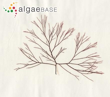 Sargassum cystophyllum Montagne