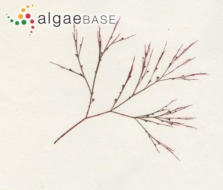 Fucus vesiculosus subsp. pseudoceranoides Areschoug