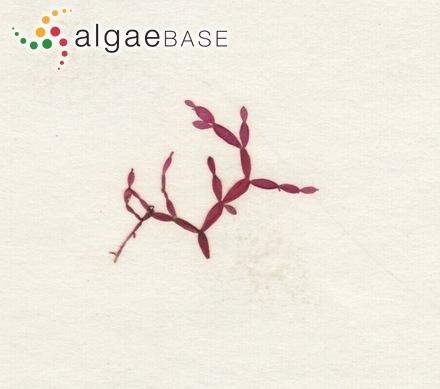 Fucus vesiculosus f. angustifrons Gobi
