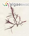Fucus ciliatus var. jubatus (Goodenoug & Woodward) Turner