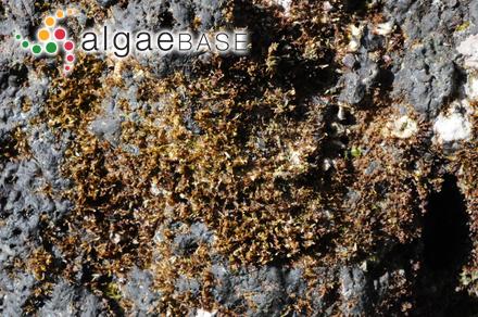 Ahnfeltia gracilis (Yamada) Yamada & Mikami