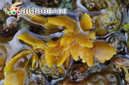 Plocaria filiformis (C.Agardh) Endlicher