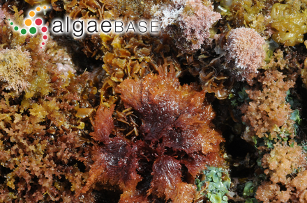 Polysiphonia grateloupeoides Noda