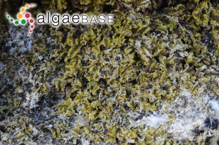 Colaconema porphyrae (K.M.Drew) Woelkerling