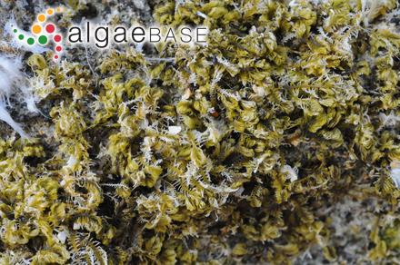 Calliarthron cheilosporioides Manza