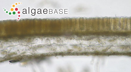 Hormosira moniliformis Meneghini
