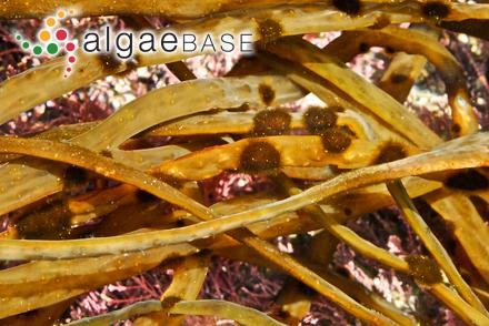Elachista mollis Takamatsu