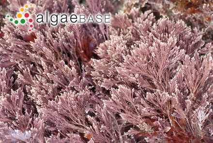 Elachista sadoensis Noda