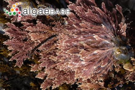 Elachista sargassicola Noda