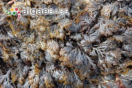 Halothrix sadoensis Noda