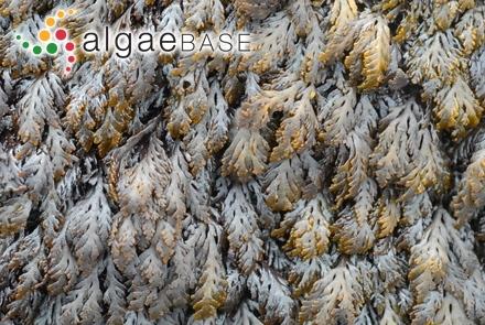 Myriactula clavata (Takamatsu) Feldmann