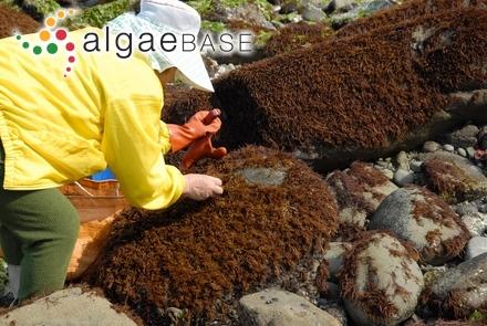 Punctaria flaccida Nagai