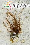 Dumontia contorta (S.G.Gmelin) Ruprecht