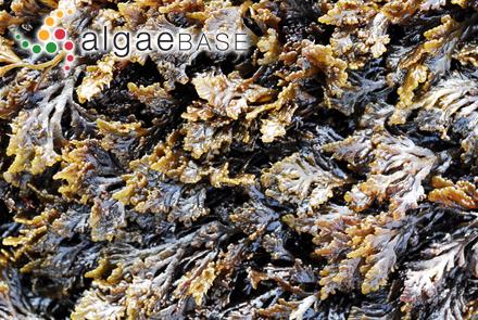 Osmundea pinnatifida (Hudson) Stackhouse