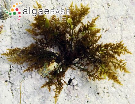 Ecklonia stolonifera Okamura