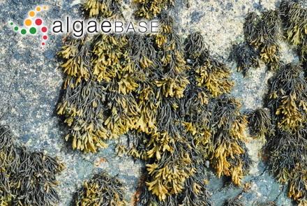 Hildenbrandia yessoensis Yendo