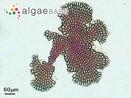 Pelvetia fastigiata (J.Agardh) De Toni