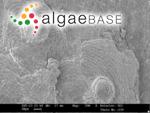 Melobesia farinosa f. borealis Foslie