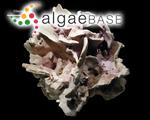 Melobesia dentata (Kützing) Decaisne