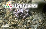 Nullipora racemus (Lamarck) Eudes-Deslongchamps
